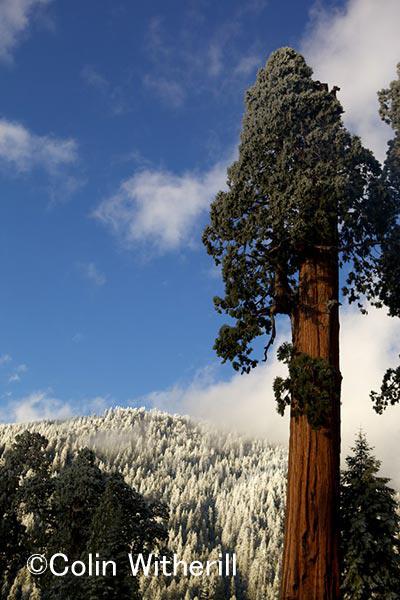 アメリカカリフォルニア州 セコイアは何千年もこの森に生き続けている