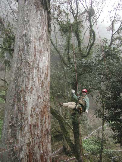 ひのきの巨木を登る川尻さん