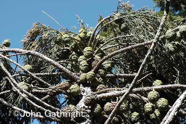 セコイアの頂上だ。 このセコイアコーンは密集して生息 何年もこうして山火事を待ち芽をだす日まで何年も木にくっついている。